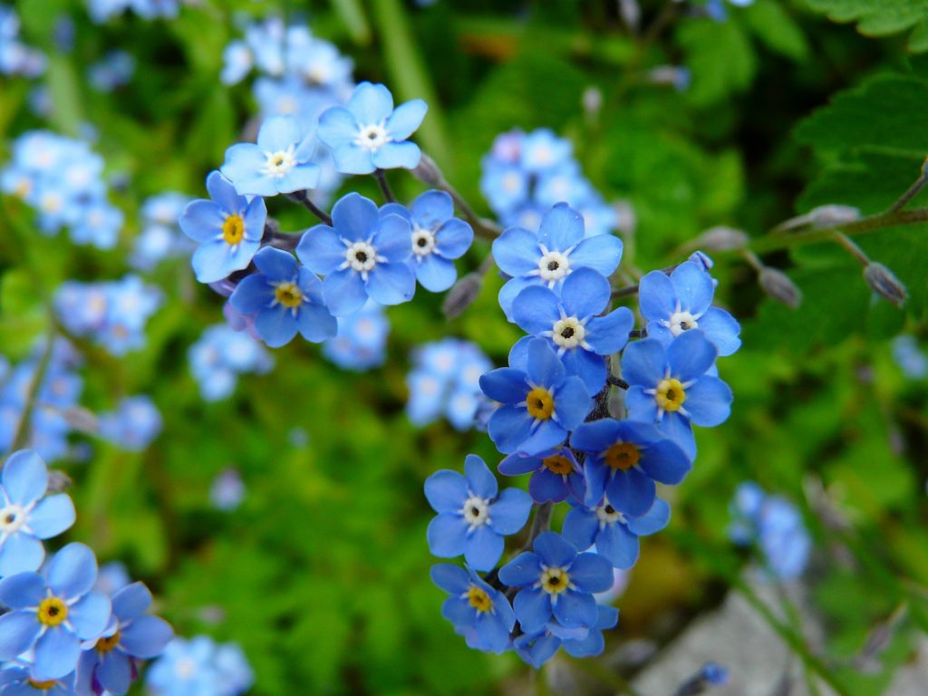 a close-up photo of a bunch of forget-me-nots