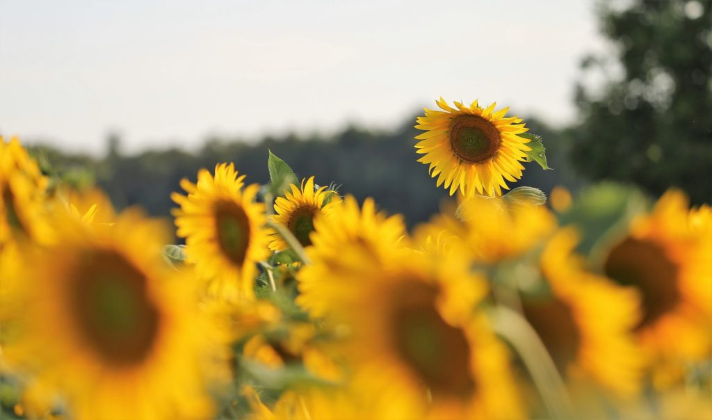 a field of sunflowers